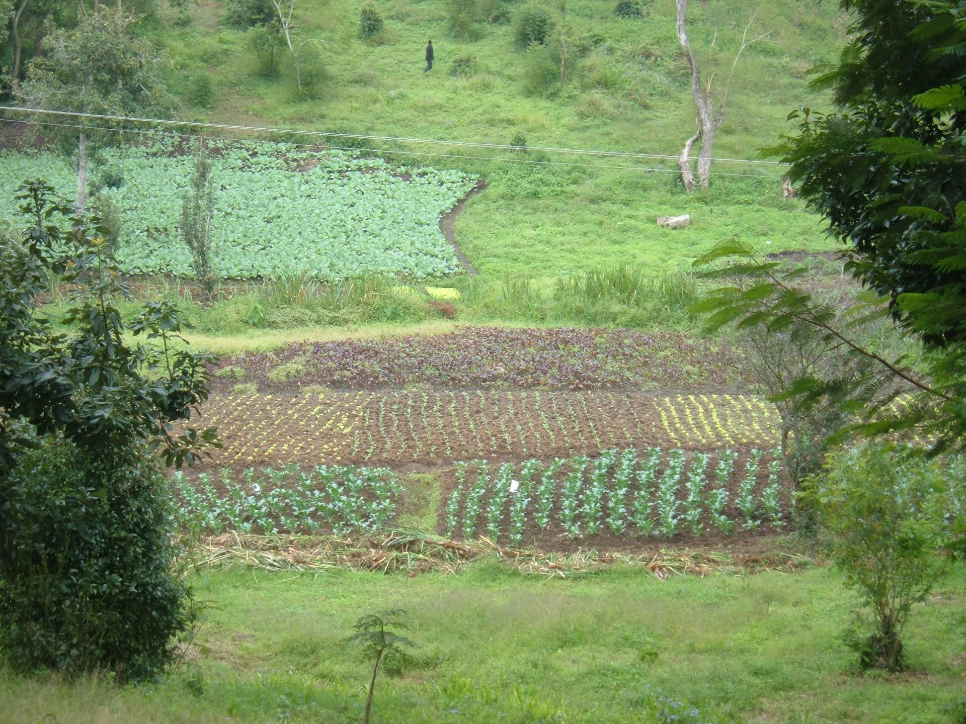 Groen gewassenveld in Tanzania