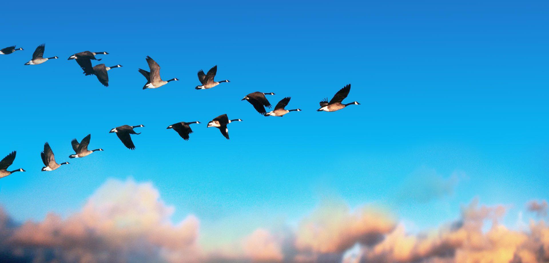 Ganzen in v formatie in blauwe lucht