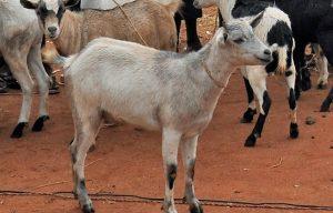 Een geit in Oeganda.
