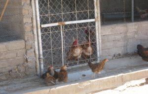Kippen scharrelen rond op een erf in Namibie
